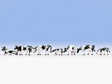 Noch NO15721 Cows black-white for H0