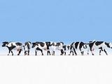Noch NO15725 Cows for H0